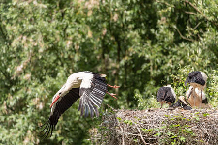 A white stork flies away from the nest looking for food for its young, horizontal image