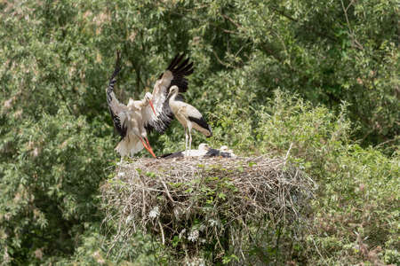 Foto per A white stork in flight reaches the young waiting in the nest, horizontal image - Immagine Royalty Free