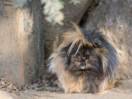 Foto per Abyssinian guinea pigs with dark coat, South American animal - Immagine Royalty Free