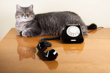 British shorthair cat with old black telephone on table