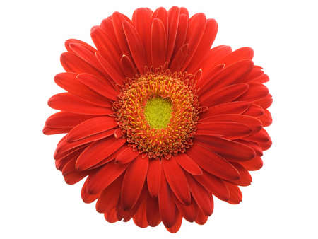 Red gerbera daisy isolated on a white background