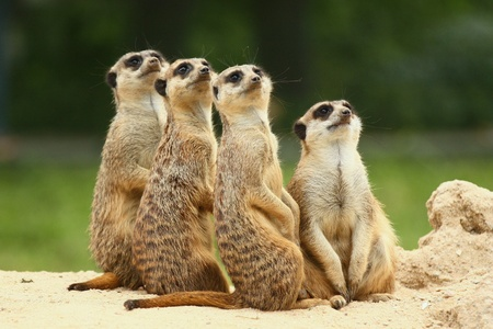 Meerkats  Suricata   all sit together and look at the sky