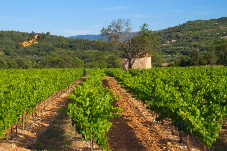 Landscape with vineyard in Provence  France