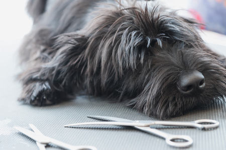 Photo pour Portrait of a cute Schnauzer lying on the grooming table with scissors lying in front of him - image libre de droit