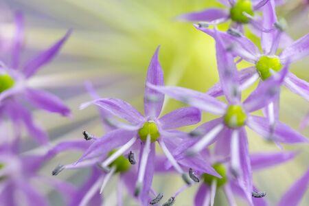 Photo pour Nature background of Dutch Garlic (allium Hollandicum 'purple Sensation'). Horizontally.  - image libre de droit