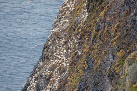 Photo pour Colony of northern gannets nesting on the cliffs of Runde island - image libre de droit