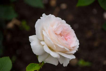 Rose flower closeup. Shallow depth of field. Spring flower of white rose.