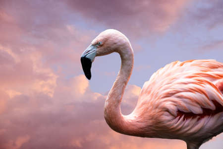 Photo pour American Flamingo. The American flamingo (Phoenicopterus ruber) is a large species of flamingo also known as the Caribbean flamingo - image libre de droit