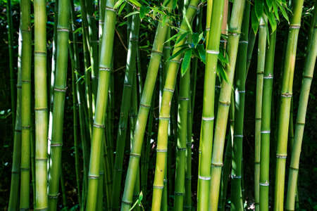 Photo pour Bamboo branch in bamboo forest, Beautiful natural bamboo background, selective focus - image libre de droit