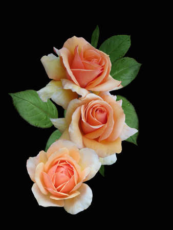 Photo for Orange rose flowers closeup. Spring flower isolated on black background - Royalty Free Image