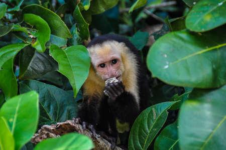 White Faced Capuchin Monkey in Manuel Antonio National Park, Costa Rica.