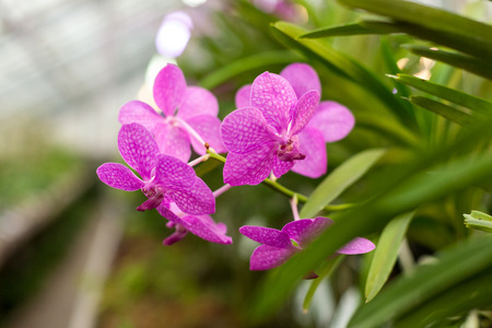 Beautiful orchid. Vanda or Vanda coerulea Griff. Various flower close up from bouquet.の写真素材