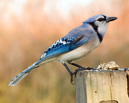 A blue jay perched on a wooden post.