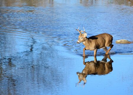 A whitetail deer buck wading in a stream.