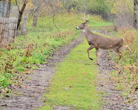 Young Whitetail Deer Buck crossing a path in the woods.