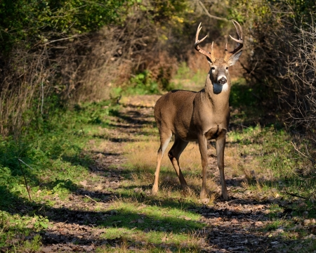 Whitetail Deer Path