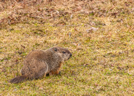 A ground hog sitting in the grass.