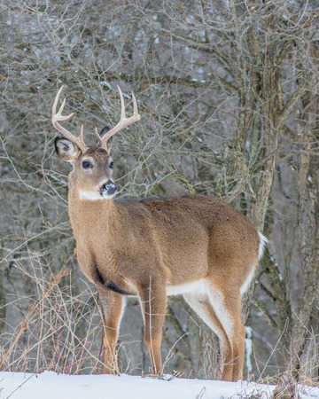 Whitetail Deer Buck standing in a woods in winter snow.
