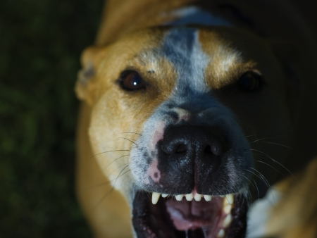 Dog showing its teeth,