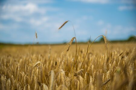 Photo for Close up of single wheat ear among whole wheat field with strong bokeh background, blue sky - Royalty Free Image