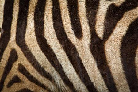 Pattern of zebra skin useful for background