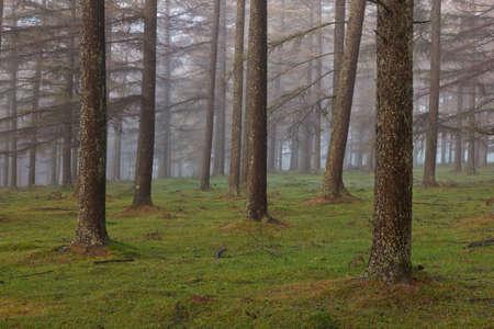 European larch forest, Gorbea Natural Park, Bizkaia, Spain