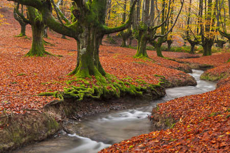The falling leaves colors the autumn season in the forest. Otzarreta beech forest, Gorbea Natural Park, Bizkaia, Spain