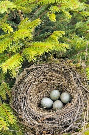 Detail of blackbird eggs in nest