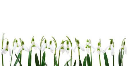 Group of snowdrop flowers  growing in row,  isolated on white background