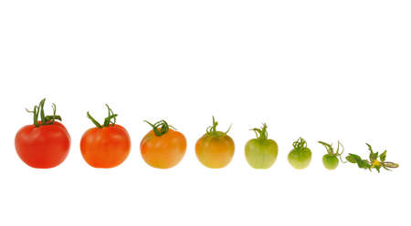 Evolution of red tomato isolated on white background