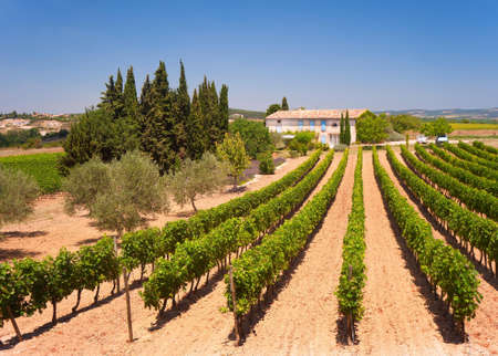 Sun-kissed vineyard in the Languedoc-Rousillon region in the South of France.