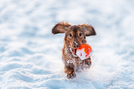 Foto de Longhaired Dachshund dog red color runs with the ball in his mouth with the snow - Imagen libre de derechos