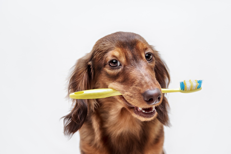 Photo pour Dachshund dog with a toothbrush on a light background, not isolated - image libre de droit