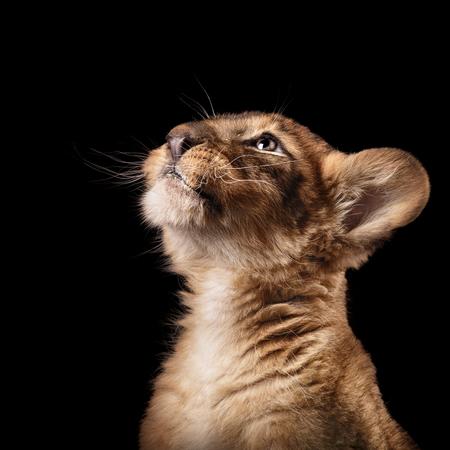 little lion cub in Studio on black background