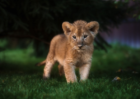 Photo pour African Lion cub, South Africa - image libre de droit