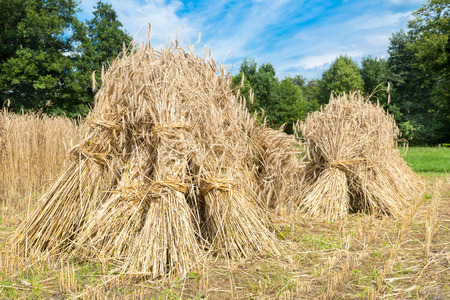 Sheaves of rye standing at corn field with blue sky and green trees