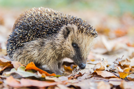 Hedgehog searching for food in brown autumn leavesの写真素材