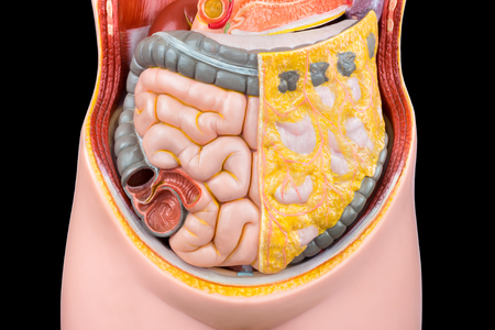 Photo pour Model of human abdomen with intestines isolated on black background - image libre de droit