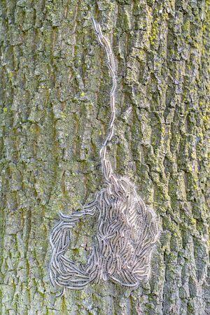 Foto per Procession to nest of oak process caterpillars on oak tree - Immagine Royalty Free