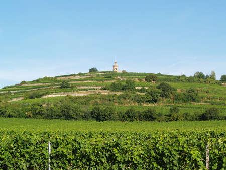 Mellow viniculture on a acclivitous hill