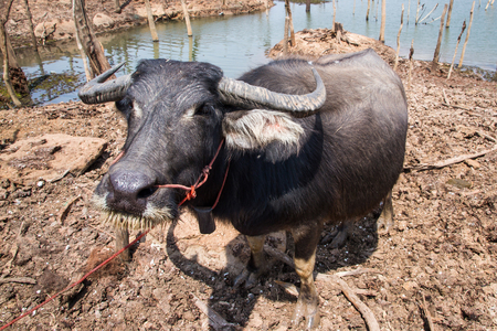 Pregnant Thai buffalo in gestation period of eleven months.