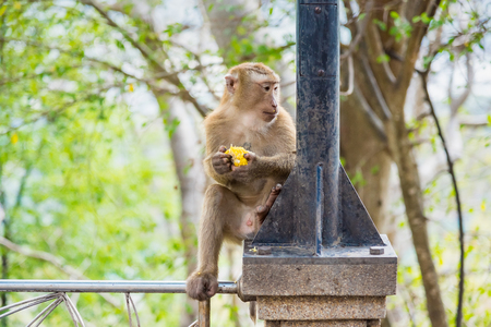 Rhesus Macaque monkeys at Rang Hill lookout point, Phuket, Thailand