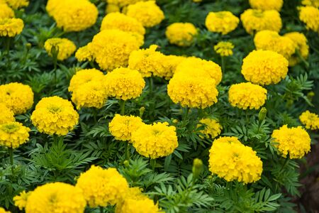 Photo pour Marigold with light from the sun Daylight - image libre de droit