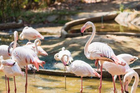 Photo pour Group of American Flamingos in the zoo thailand - image libre de droit