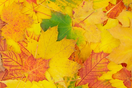 Autumnal background of colorfully colored maple leaves.