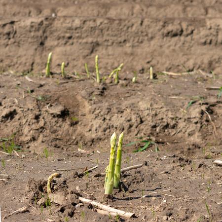 Spargelstangen grow on the field. Location: Germany, North Rhine-Westphalia, Heiden