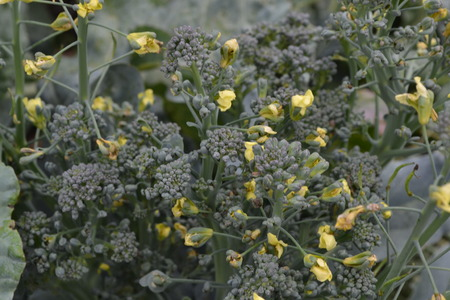 Broccoli. Cabbage close-up. Cabbage growing in the garden. Brassica oleracea var. italica. Growing cabbage. Field. Farm