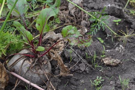 Beet growing in the vegetable garden. Beta vulgaris. Beet. Garden, field, farm. Photos of nature. Horizontal photo