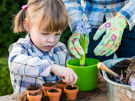 child girl planting flower bulbs with mother. Gardening, planting concept - mother and daughter planting tulip and hyacinth  bulbs into small pots