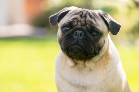 Cute Sad Pug on the summer park - waiting for master